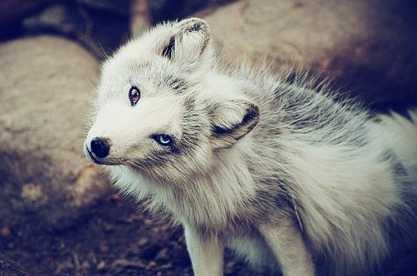 Cute baby white foxes