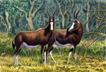 2014 alcelaphine animal_genitalia antelope barely_visible_genitalia barely_visible_sheath beady_eyes black_horn black_tail blaze_(marking) blesbok bontebok bovid branch brown_eyes brown_fur countershade_legs countershade_torso countershading curved_horn detailed detailed_fur digital_media_(artwork) duo facial_markings female feral forest full-length_portrait fully_sheathed fur graphite_(artwork) grass horizontal_pupils horn leaf lighting looking_at_another looking_at_viewer male mammal markings mixed_media multicolored_fur nature outside pen_(artwork) pencil_(artwork) photorealism plant portrait quadruped savanna shadow sheath short_tail shrub side_view snout socks_(marking) standing traditional_media_(artwork) tree tsessebe two_tone_fur white_countershading white_fur white_markings white_sheath willemsvdmerwe